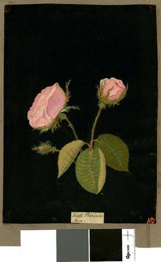 Mary Delany, ? Province rose