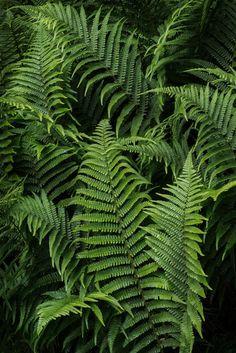 "-vvaste: "" Farr's Bay Fern (by J R Oliver) "" Nature Plants, Green Life, Tropical Paradise, Green Plants, Plantar, Shade Garden, Garden Landscaping, Planting Flowers, Lush"