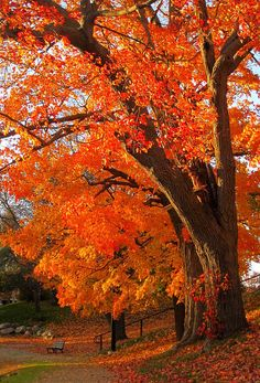 Bright orange fall tree - invokes visions of Halloween day.