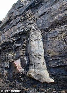 Fossilized tree discovered embedded in a quarry face above Bacup, Lancashire
