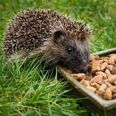 How to care for hedgehogs in the garden