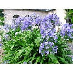 Afrikas blå lilja, så gör du! – trädgårdsdrömmen.se