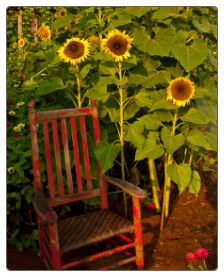Old Red Chair & Sunflowers - what a great resting spot to enjoy the garden!