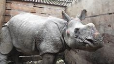 18Aug17. BBC News. The young rhino was swept 42km from Chitwan National Park by floods and found in an Indian village.