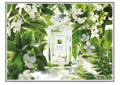 Jo Malone, Osmanthus Blossom. Limited Edition. Delicately exotic.This white flower captures the duality of apricot counterpoised with supple leather. Luminous petitgrain and luscious peachand orange flower ripple over voluptuous cashmere wood.