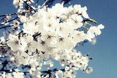 薄荷荼蘼梨花白