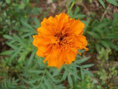 Marigold, Plants, Plant, Planets