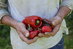 harvesting peppers at our farm