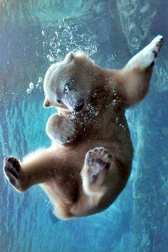 Polar bear by C.S. Drake on flickr