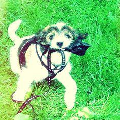 heididahlsveen:  #atsjoo #dog #hund #puppy