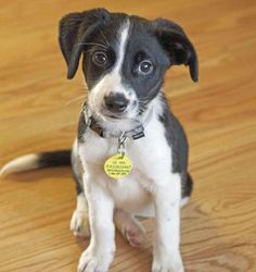 This is the one for me @Lindsey Herzog, Pat, Whit, and Brit... border collie mix