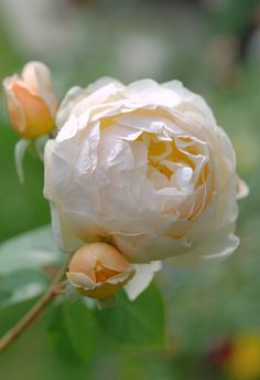 'Jude the Obscure' | David Austin English Rose.  Austin, 1989 | Flickr - © snowshoe hare*