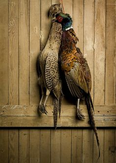 Brace of pheasant fr Brace of pheasant from the local shoot. I tend not to roast pheasant I prefer them slow cooked in a Salmi with redcurrant jelly and port to make the sauce. Quail Hunting, Duck Hunting, Pheasant Shooting, Rustic Food Photography, Hunting Tips, Hunting Stuff, Game Birds, The Great Outdoors, Fishing