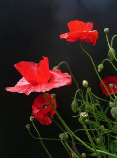 coquelicots Beautiful Flowers 4744bef9c