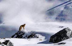 Catch me if you can! Encountered very rare high living fox! by himalayanborn