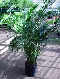 cat palm - Chamaedorea cataractarum,,,, hoping I don't kill it! bought it about 5 1/2 foot tall and gorgeous in the living room