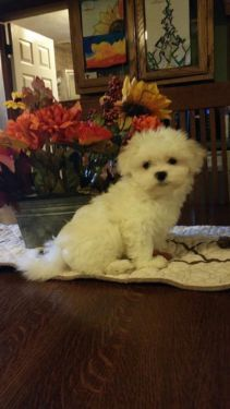 dogs puppies for sale in United States Cute Puppies, Cute Dogs, Dogs And Puppies, Cute Puppy Pictures, Dog Pictures, I Love Dogs, Puppy Love, Maltese Dogs, Teacup Maltese