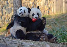 Dan Dan The Binary Man The Mei Xiang & Bao Bao Show  Giant Pandas, Mei Xiang & Bao Bao. Smithsonian's National Zoo, Washington D.C. [DSC_3700]