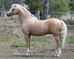 The Welsh Pony & Cob Society of Australia Inc - The Breed For All The Family