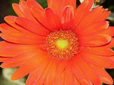 Orange Gerber Daisy!