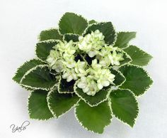 Frozen in Time (9167) 02/03/2003 (Lyndon Lyon Greenhouses/Sorano) Single-semidouble white star/green edge. Variegated light green and ivory, quilted. Standard