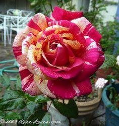 Rare Roses: Rose: Broceliande