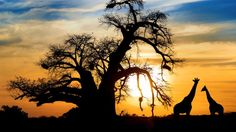 Baobab and giraffe on african savannah