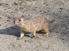 Dierenweetjes: Prairiehondje