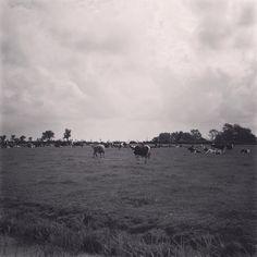 Friese koeien bij Menaldum.