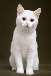 This lovely white <a class=\pintag searchlink\ data-query=\%23kitten\