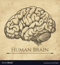 Brain retro anatomic etching vector image on VectorStock Human Brain Drawing, Biology Drawing, Brain Illustration, Illustration Sketches, Drawing Sketches, Brain Painting, Brain Tattoo, Brain Art, Mini Canvas Art