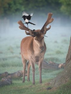 A pair of magpies look for ticks on the fresh spring coat of this red deer