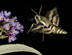 Sky spies make like a moth (Image: Malcolm Schuyl/FLPA) Cool Robots, My Images, Moth, Sky, Heaven, Heavens