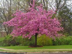 Prunus serrulata 'Kanzan' – třešeň pilovitá