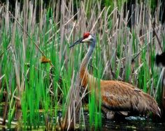Bird Photography Sand Hill Crane,nature lover's decor,Gifts under 25, | VanillaExtinction - Photography on ArtFire
