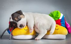 Sleeping puppy #dog