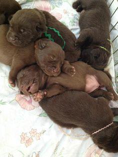 chocolate lab puppies