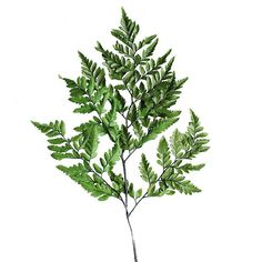 "Preserved Leather Leaf in Green 20-25"" Tall 10 Stems Per Bunch"