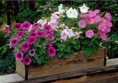 Balıkesir Çiçek Çiçek Bakımı: Petunya bakımıPetunya Balıkesir Buse Çiçekçilik-İl...