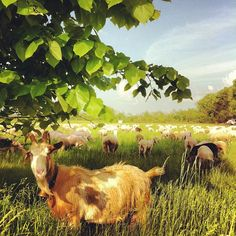 Life in the #country: #goats and #sheep. (presso...