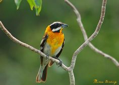 The Western Spindalis (Spindalis zena), formerly called the Stripe-headed Tanager, is a songbird species. S. zena formerly included other species of spindalis, as well. The species is found in the Bahamas, the Cayman Islands, Cuba, and the Turks and Caicos Islands by Juan López Ruiz in Santa María Key, Cuba