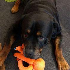 One of our many happy Ruby & Duke #Dukebox dog toy and treat customers @ppaaiiggeexx. www.rubyandduke.com  #dogsofinstagram #dogstagram #dogs #dogsrule #doglove #doglovers #doglife #dogoftheday #doggy #doglover #doggie #dogscorner #dogofinstagram #dogsofinsta #dogwalk #dog_features #doggies #dogsandpals #dogloversofinstagram #dogdays #dogsofinstaworld #dogcrushdaily #dogslover