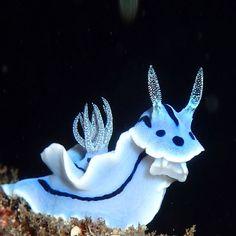 Nudibranch-Sea slug