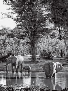 Botswana's Moremi and Chobe reserves have Africa's greatest concentration of elephants.