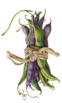 Bean Bunch by Susannah Blaxill. Contemporary http://blaxill.com/watercolour_white.php