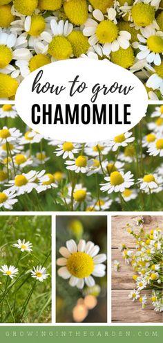 Chamomile Growing, Garden Renovation Ideas, Growing Seeds, Flower Farm, Edible Garden, Drying Herbs, Flower Seeds, Growing Vegetables, Dried Flowers
