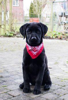 Black Labrador Boris - 15 weeks