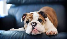 The major breeds of bulldogs are English bulldog, American bulldog, and French bulldog. The bulldog has a broad shoulder which matches with the head. Bulldog Breeds, English Bulldog Puppies, British Bulldog, French Bulldog, Medium Sized Dogs, Medium Dogs, Chien Yorkshire Terrier, Victorian Bulldog, Bulldogs Ingles