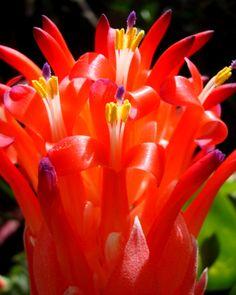 red bromeliad in my garden