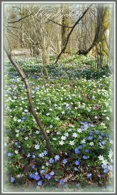 Wildflowers on the forest floor. Mother Earth, Mother Nature, Spring Flowers, Wild Flowers, Woodland Flowers, House In Nature, Forest Floor, Science And Nature, Spring Time